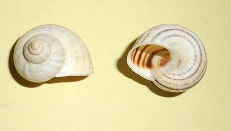 Tropidophora semidecussata pauluccioides (Petit de la Saussaye, 1853) Dscn2817