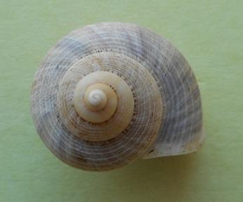 Tropidophora  aspera (Potiez & Michaud, 1838) Dscn2911