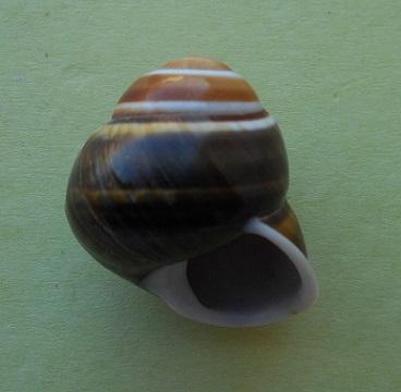 Dryocochlias johnsoni (Bartsch, 1938) Dscn2920
