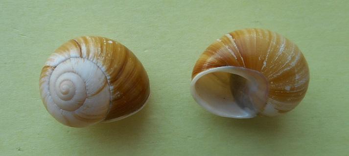 Xanthomelon pachystylum (Pfeiffer,1845) Dscn3014