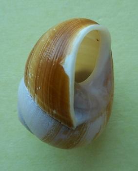 Xanthomelon pachystylum (Pfeiffer,1845) Dscn3015