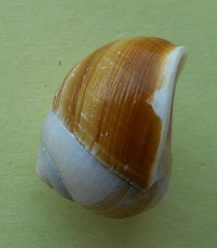 Xanthomelon pachystylum (Pfeiffer,1845) Dscn3016