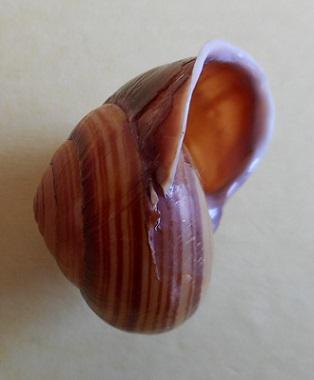 Figuladra appendiculata (Reeve, 1854) Dscn3031