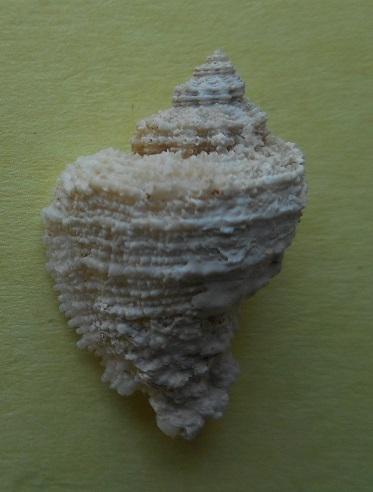 Coralliophila brevis - (Blainville,1832) Dscn3119