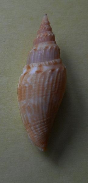 Borsoniidae Genota nicklesi - Knudsen, 1952 Dscn3311