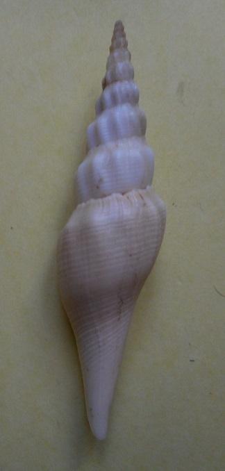 Ptychatractidae - Exilia hilgendorfi - (Martens, 1897) Dscn3412