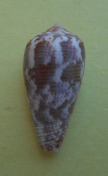 Conus (Pionoconus) achatinus  Gmelin, 1791 - Page 2 Dscn3914