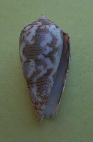 Conus (Pionoconus) achatinus  Gmelin, 1791 - Page 2 Dscn3915