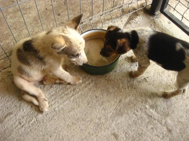 Ice 3 mois x husky Roumanie ASSO Suisse ADOPTE Ice310