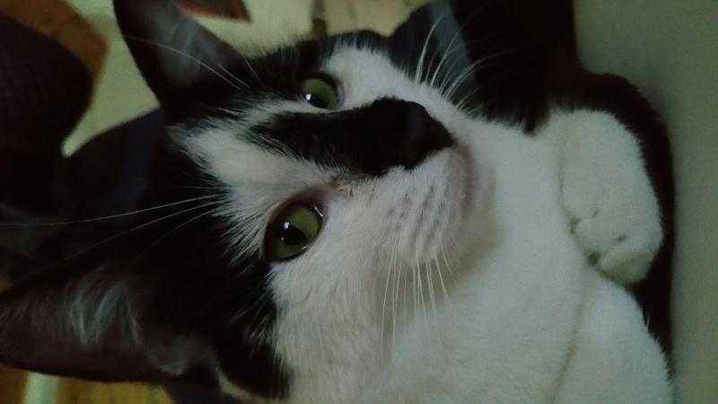 Joël, mâle, 09.2014, noir et blanc, poil mi-long 20150510