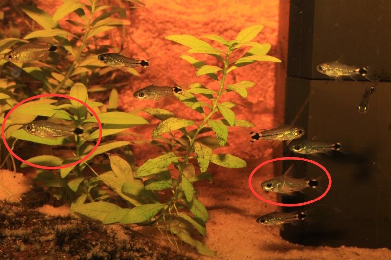Corydoras hastatus/Hyphessobrycon elachys - Page 3 Corydo11