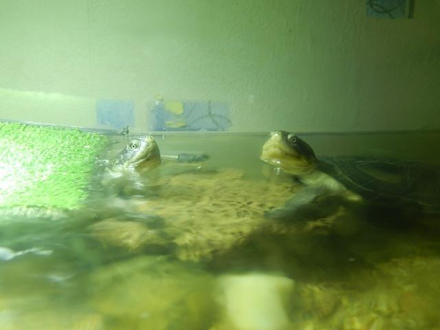 mes 2 petites  tortues - Page 2 Dscn4611