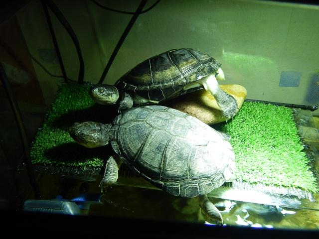mes 2 petites  tortues - Page 2 Dscn4710