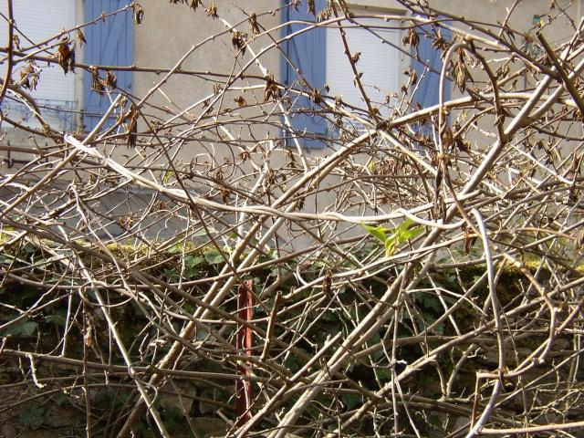 Actinidia arguta - kiwi à petit fruit, kiwaï P1010010