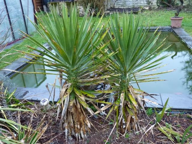 yucca aloifolia - Yucca aloifolia P1020711