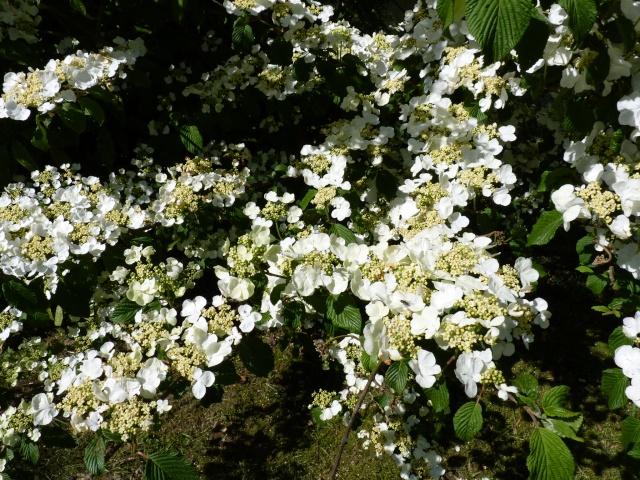 Viburnum plicatum P1020911