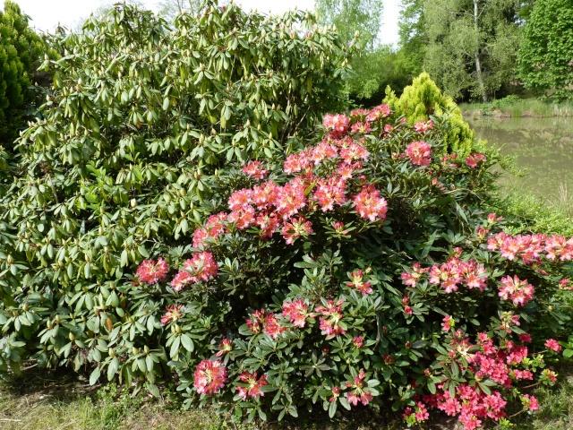 Rhododendron - espèces, variétés, floraisons - Page 5 P1020920