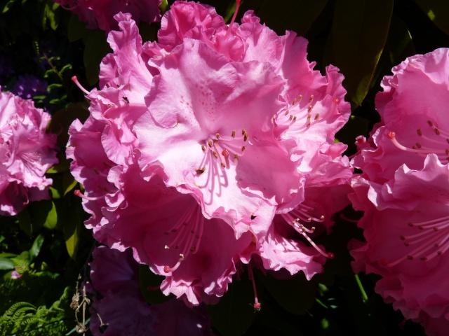 le joli mois de mai des fous jardiniers - Page 6 P1030021