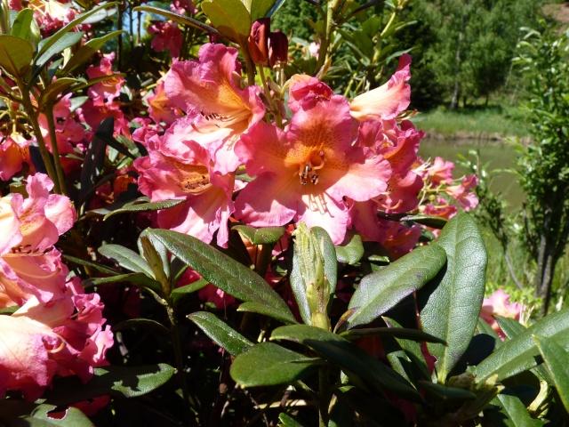 le joli mois de mai des fous jardiniers - Page 6 P1030022