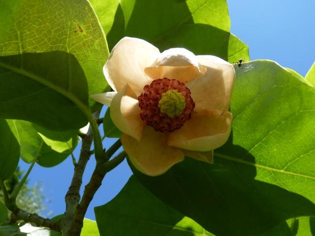 Magnolia sieboldii 'Colossus' P1030117
