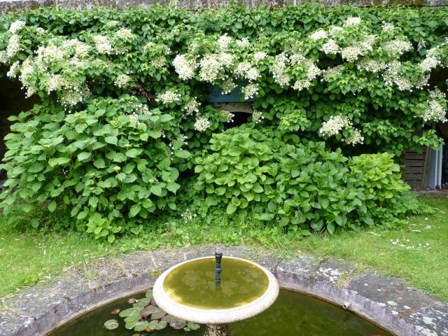 Hydrangea petiolaris P1030220