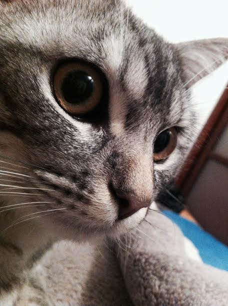 Jamy, mâle tigré gris né en Mai 2014 Unname11
