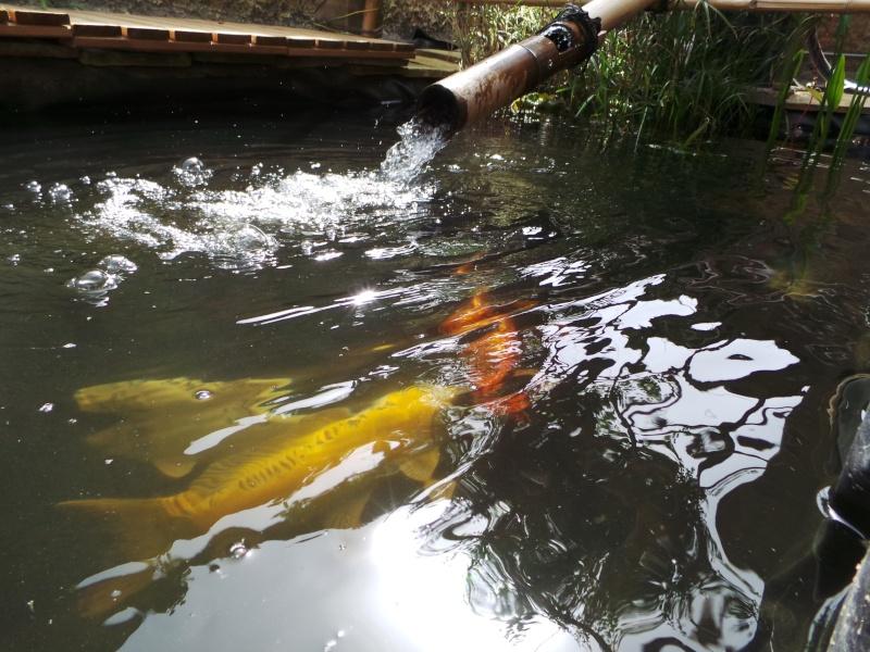 Mon bassin à Koï 20150514