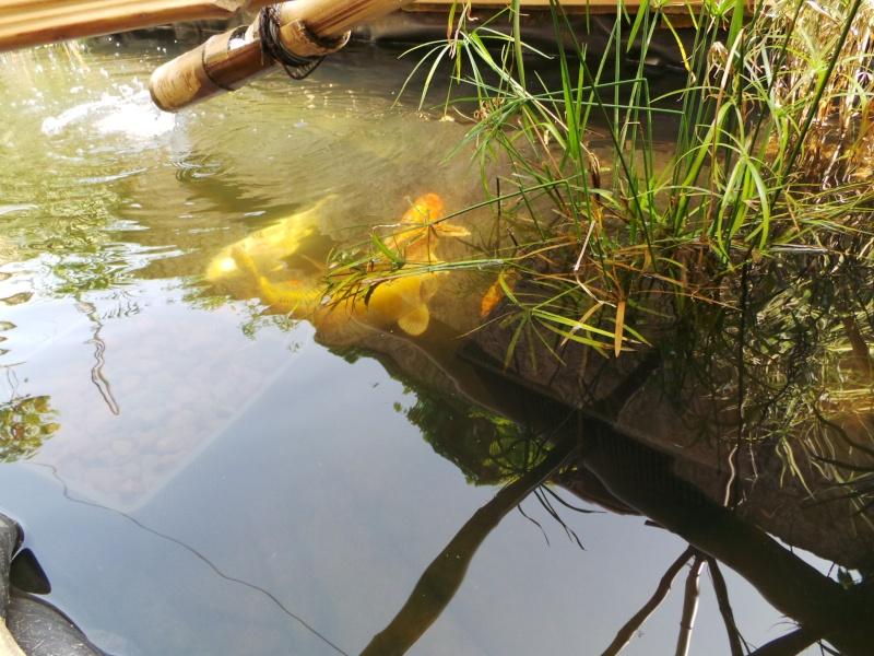 Mon bassin à Koï 20150516