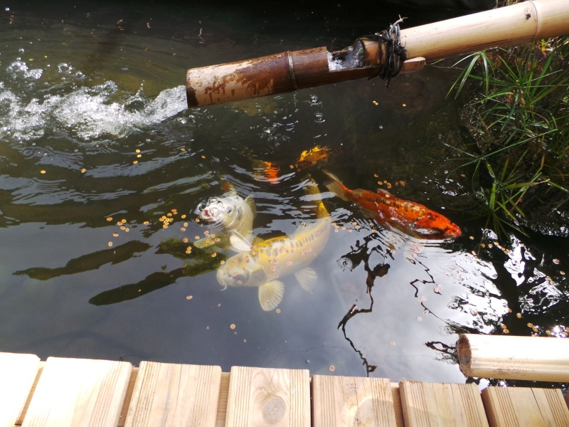 Mon bassin à Koï 20150517
