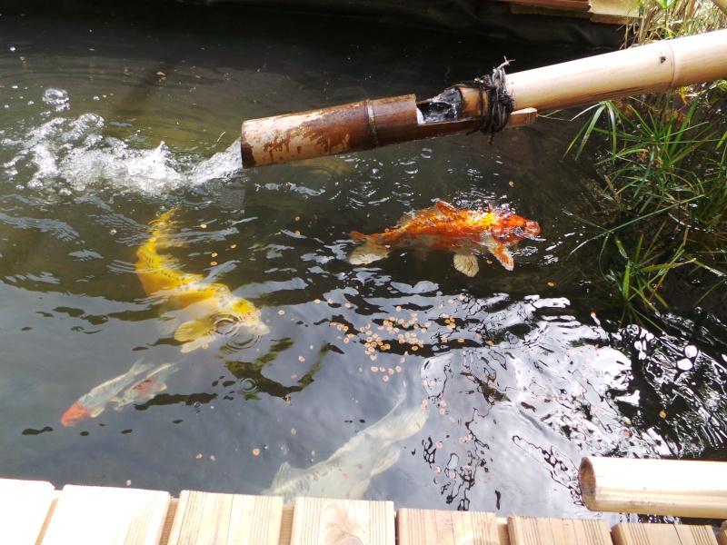 Mon bassin à Koï 20150518
