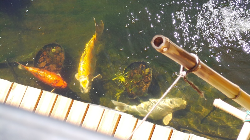 Mon bassin à Koï - Page 2 20150523