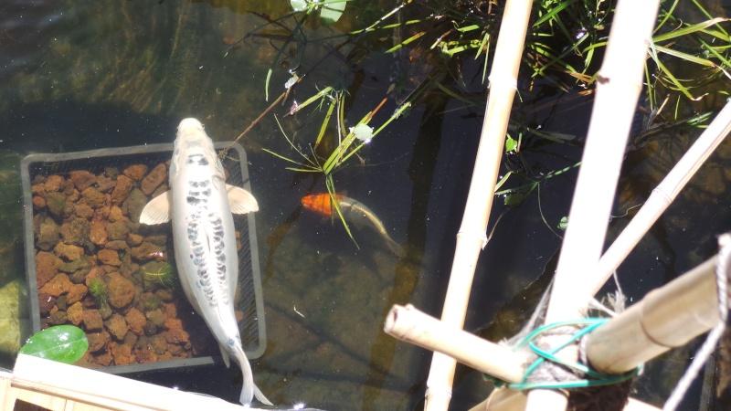 Mon bassin à Koï - Page 2 20150529