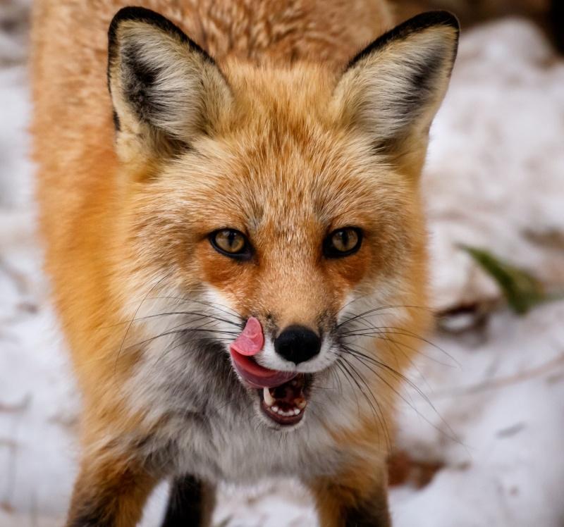 Maman renard qui se délecte 20150310
