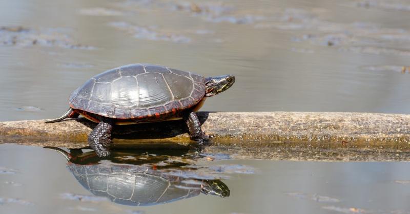 Grenouilles, tortues et ouaouarons! 20150510