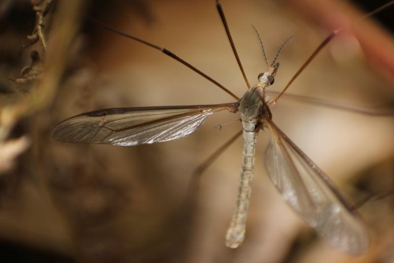 [Tipula oleracea] Nouvelle espèce pour Serena (2)  01-05-10