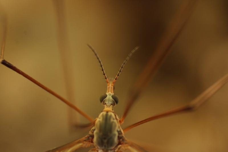 [Tipula oleracea] Nouvelle espèce pour Serena (2)  01-05-11