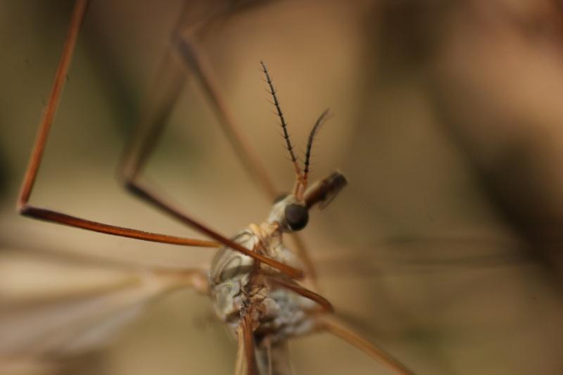 [Tipula oleracea] Nouvelle espèce pour Serena (2)  01-05-12
