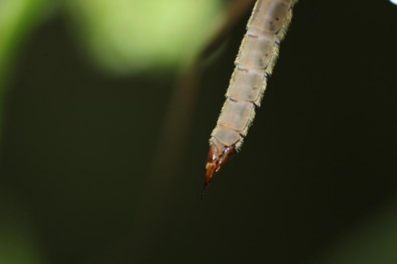 [Tipula oleracea] Nouvelle espèce pour Serena (2)  01-05-15