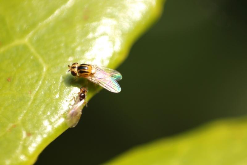 Thaumatomyia sp. (Chloropidae)  Img_2111