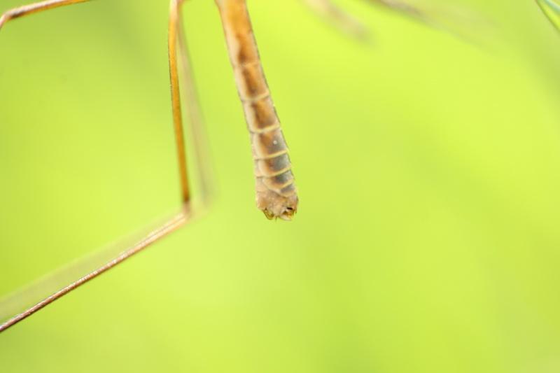 [Tipula vernalis] Tipule qui pullule en ce moment Img_2912