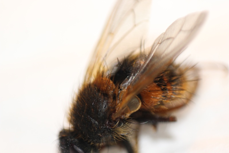 [Tachina lurida] Une nouvelle espèce pour Serena Img_3311