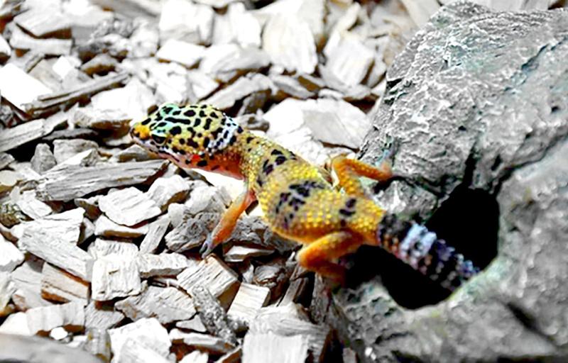 gecko léopard (Eublepharis macularius) G11