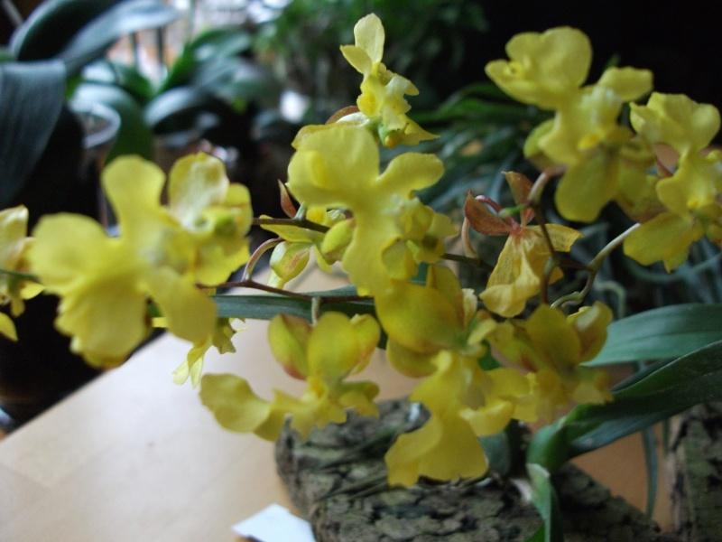 Orchideen-Neuzugang - Seite 2 Dscf3211