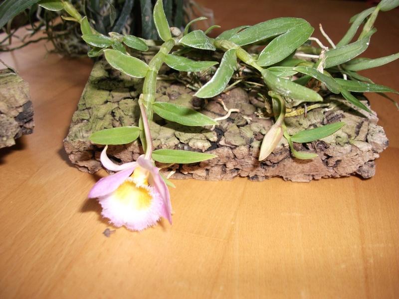 Orchideen-Neuzugang - Seite 2 Dscf3214