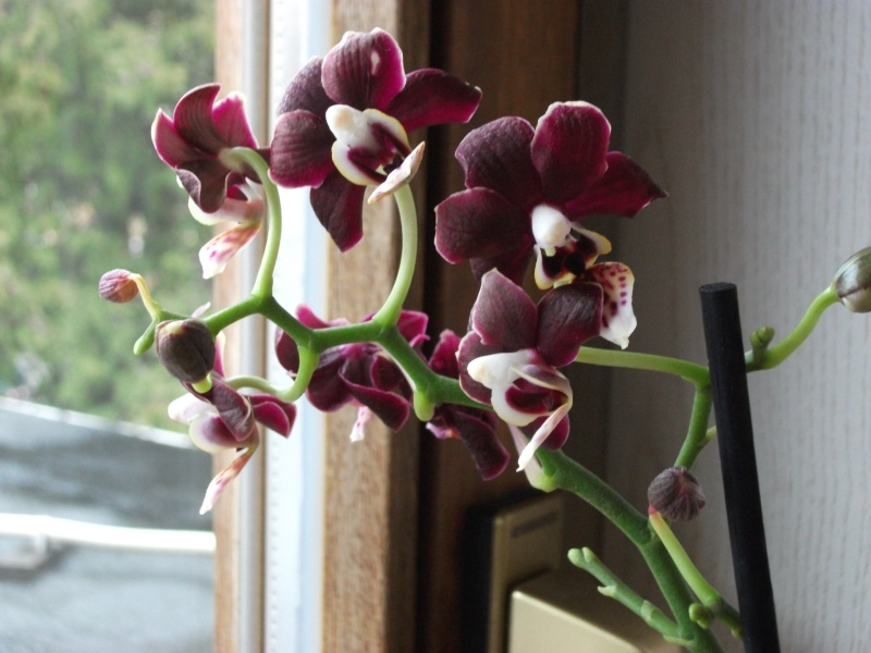 Orchideen-Neuzugang - Seite 2 Dscf3313