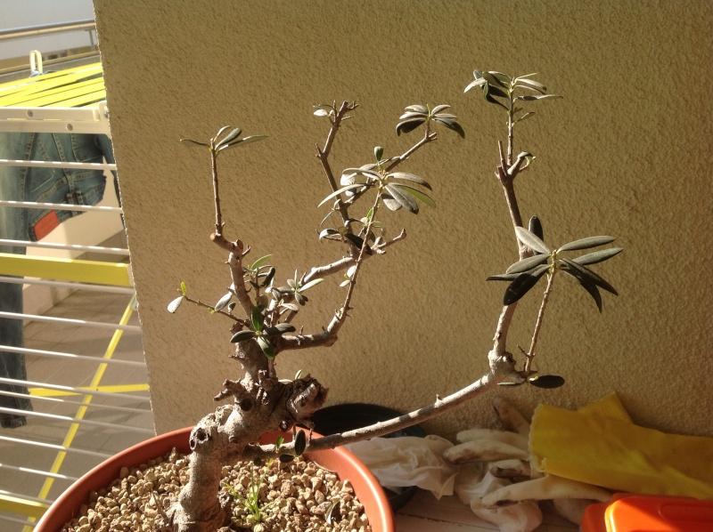 Prebonsai olivo Image17