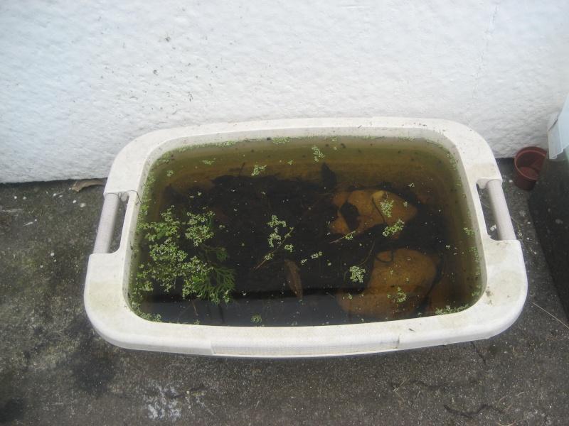Crevettes sauvages vivant à Angoulins. Cre_sa10