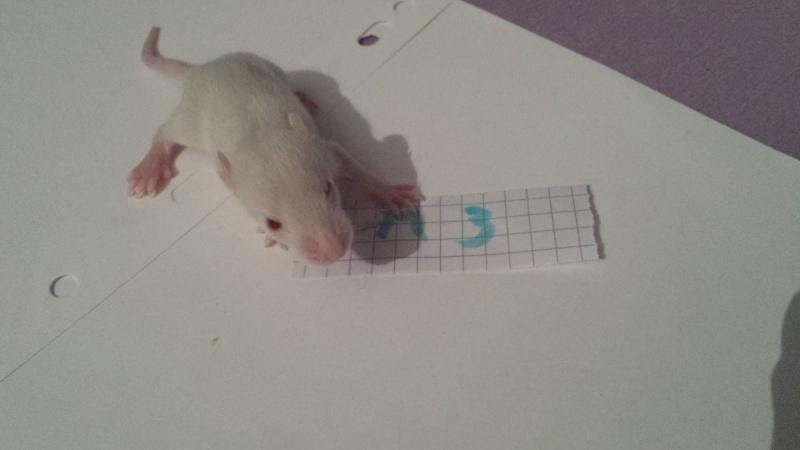 couleur de ce raton ? 20150333