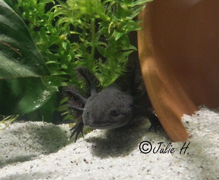 110L Axolotls Photos11