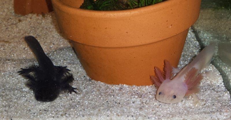 110L Axolotls Voile_71